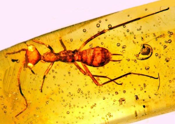 Учёные обнаружили в янтаре насекомое неизвестного происхождения