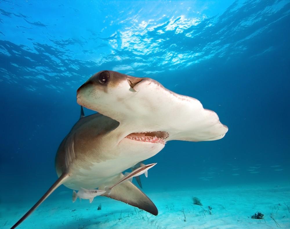 Зоологи обнаружили новый вид акулы-молота— Научные открытия