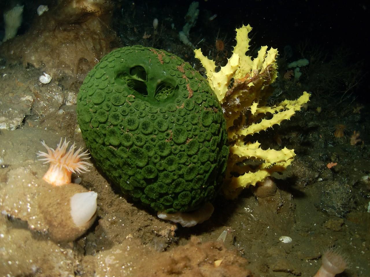 После апокалипсиса выживут только морские губки— Ученые