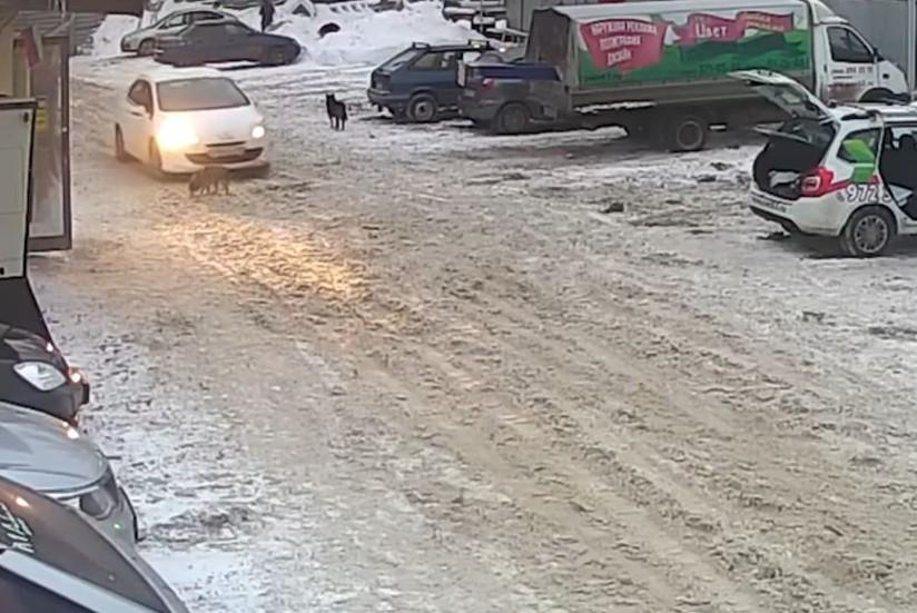Руководитель общественной организации Самары умышленно раздавила собаку автомобилем