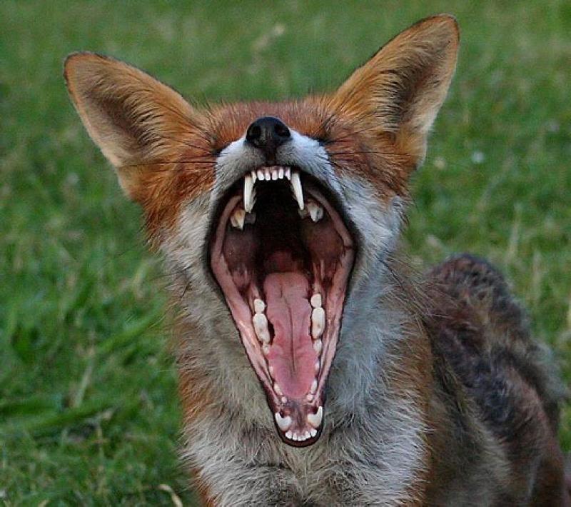 ВКирове бешеная лиса напала наребенка
