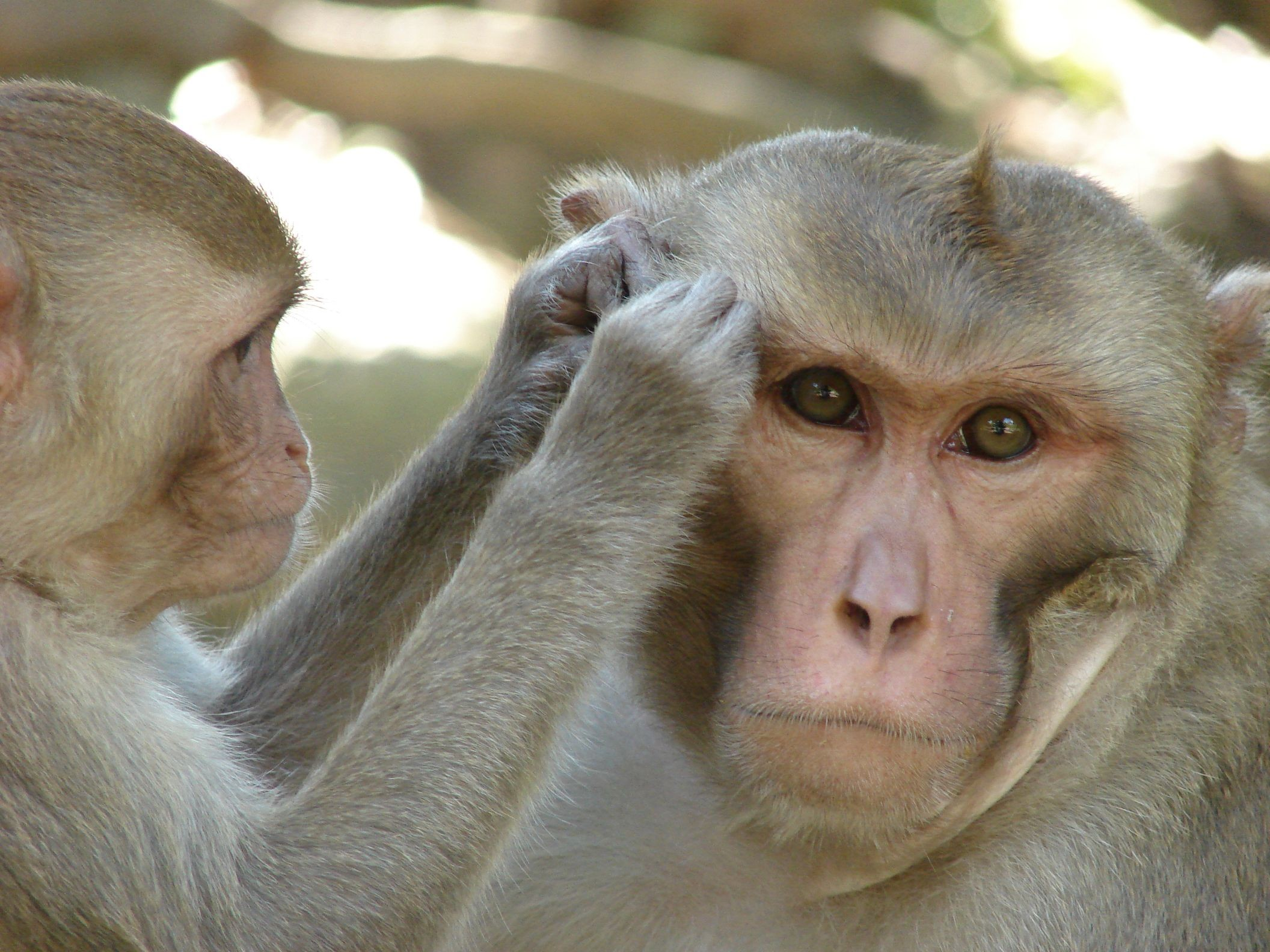 Китайцы обучили обезьян узнавать себя взеркале