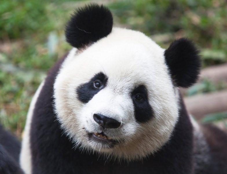 В КНР скончалась панда Коби, названная вчесть талисмана Олимпиады вБарселоне
