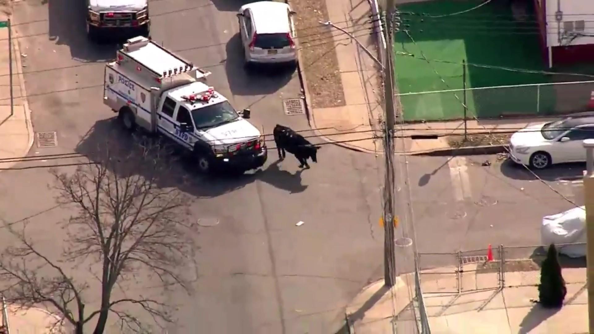 Страсть кжизни: вНью-Йорке соскотобойни убежал бык