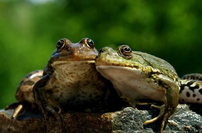ВИндии найдены семь новых видов лягушек