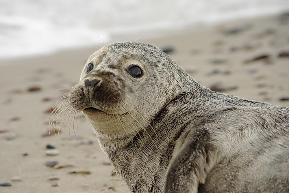 Калининградцы смогут увидеть наберегу моря балтийских тюленей