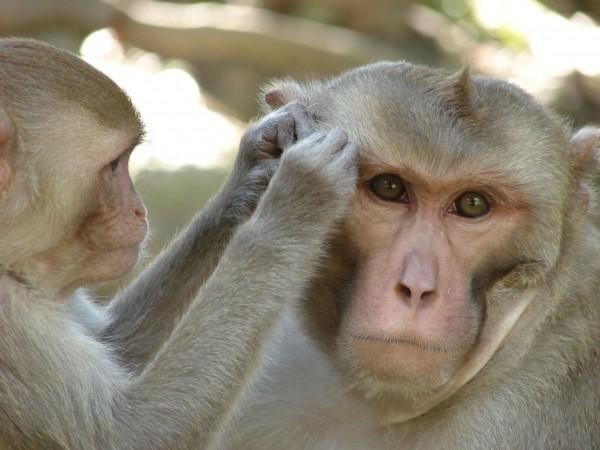 Макаки-резусы пополнили ряд способных пользоваться зеркалом животных