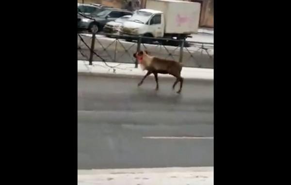Полицейские поймали оленя,  гулявшего по проспектам Санкт-Петербурга