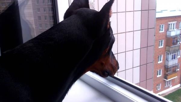 Доберман закрыл своего хозяина на балконе в мороз