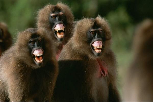В древнем Египте преступников ловили бабуины