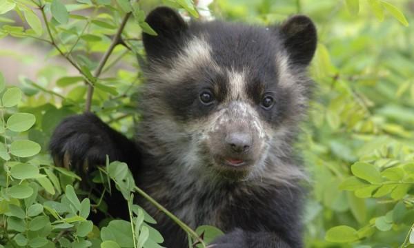 В США медведица принудила непослушного детеныша перейти реку
