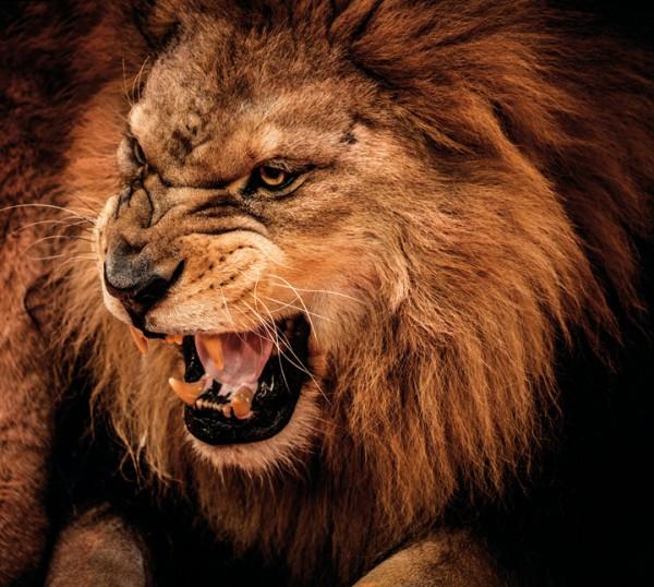 В японском зоопарке лев травмировал смотрительницу во время уборки вольера