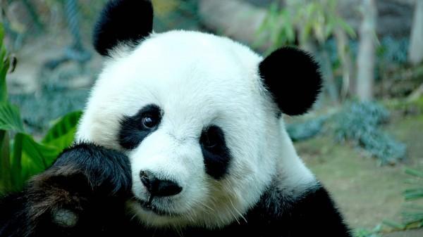 Гигантская панда Бао-Бао вернулась из США на историческую родину в Китай