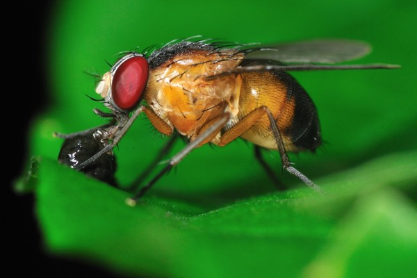 Космические мухи позволили ученым СО РАН совершить открытие
