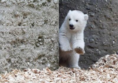 Белого полярного медвежонка Groovy впервые вывели погулять в Мюнхене