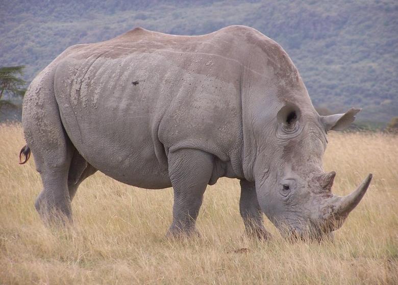 Браконьеры убили заценный рог носорога взоопарке
