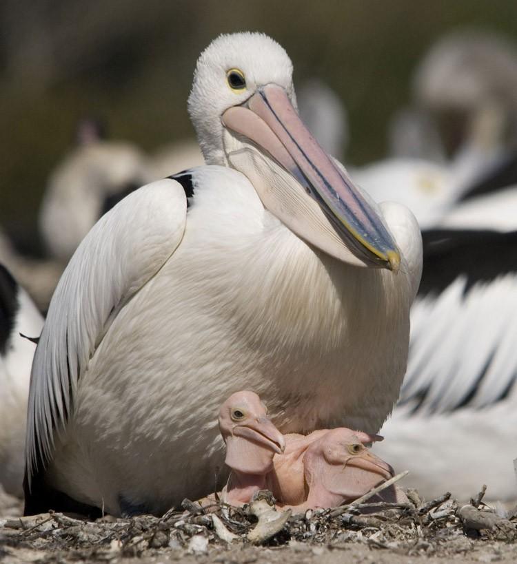 Взоопарке Вены усыпили всех пеликанов