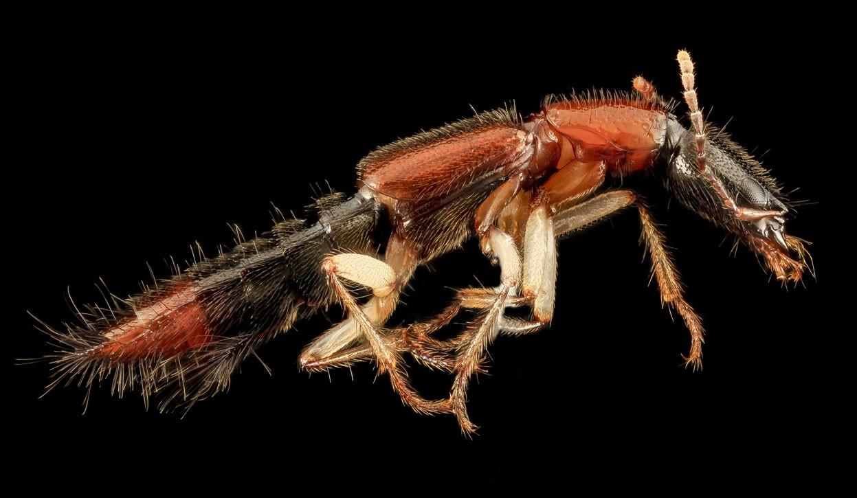 Биологи обнаружили вмуравейниках жуков-маньяков