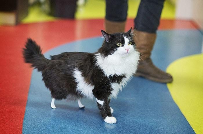 В РФ впервый раз котам вживили протезы