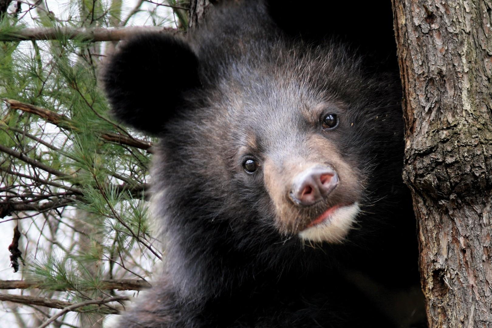 ВПриморье всарае отыскали брошенного гималайского медвежонка