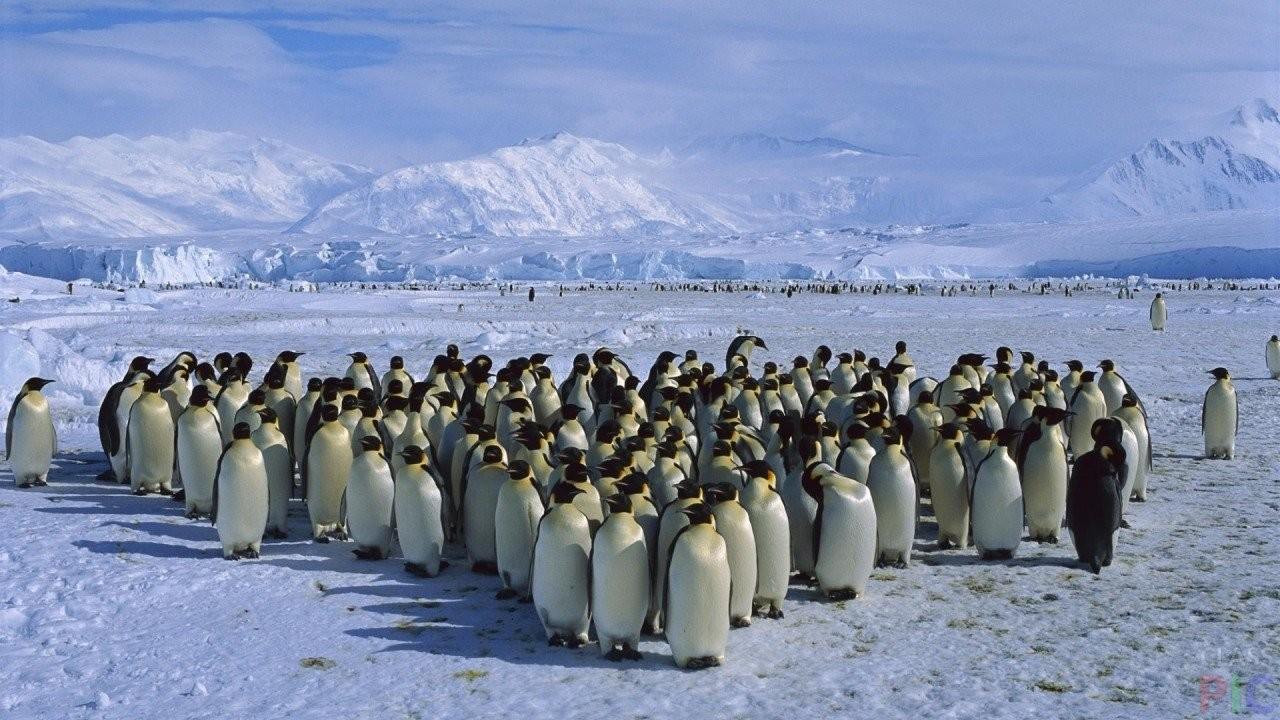 Австралийские ученые пересчитали пингвинов вАнтарктиде
