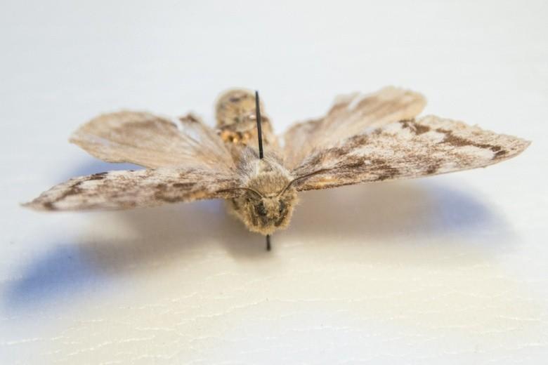 Вспышка сибирского шелкопряда угрожает Томской области этим летом
