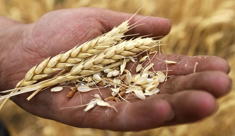 Калькулятор зерен вколосе пшеницы пригодился генетикам