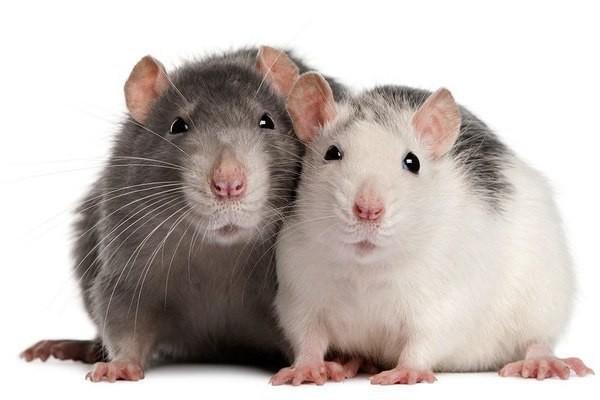 Учены омолодили мышей с помощью секретной вакцины