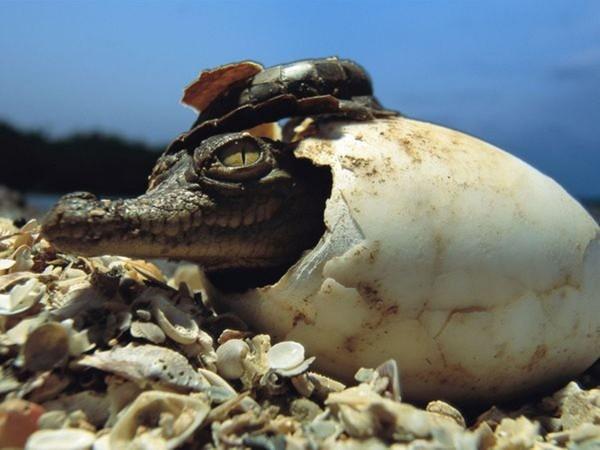 В Португалии палеонтологи нашли яйца древнейших крокодилов