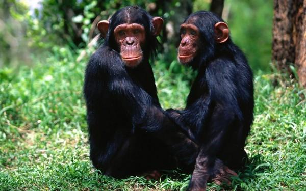 Ученые: Шимпанзе ухаживают за мертвыми сородичами