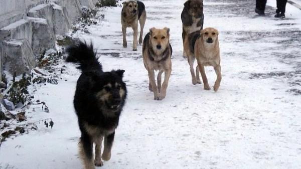СК РФ работает по делу нападения на ребенка бездомными собак в Ростове