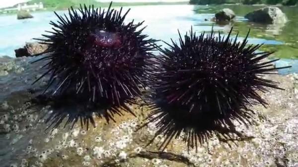 Ученые уверены, что иголки морского ежа смогут помочь при переломах