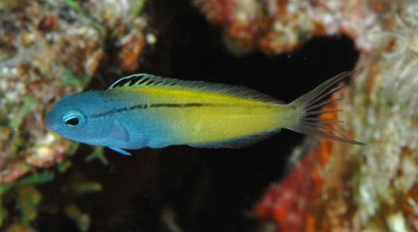 Ядовитые рыбы Meiacanthus снижают давление своим противникам