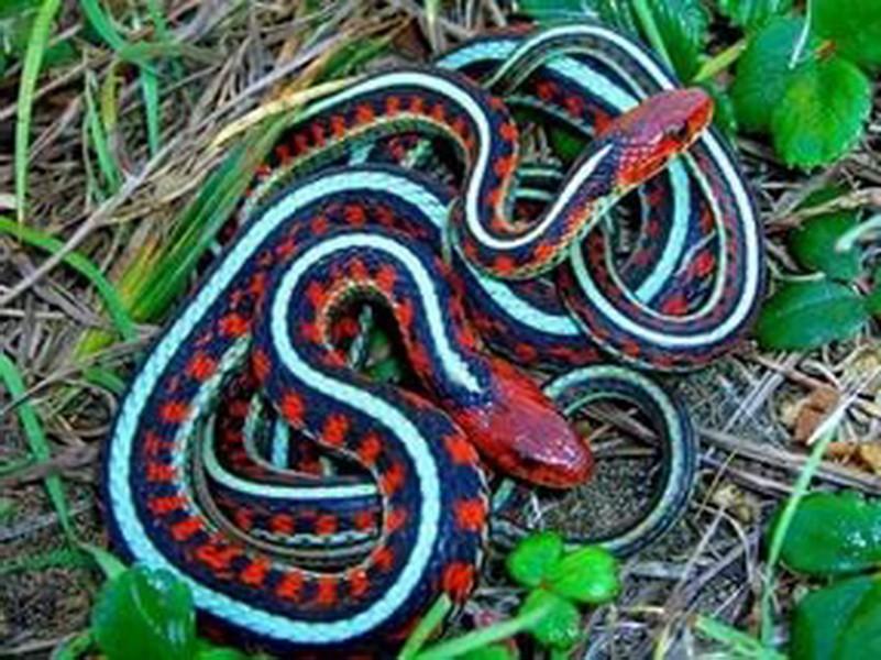 Ученые выяснили что голодающие змеи максимально готовы спариваться