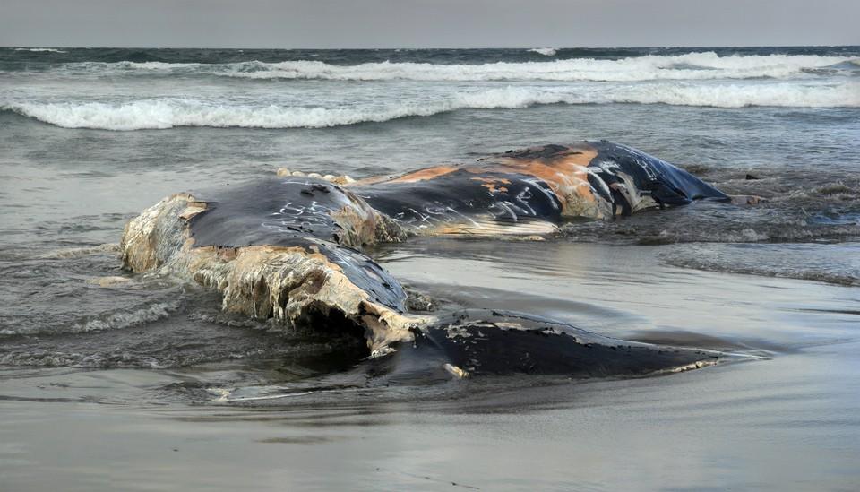 Туши 2-х китов из«Красной книги» выбросило наберегу Камчатки