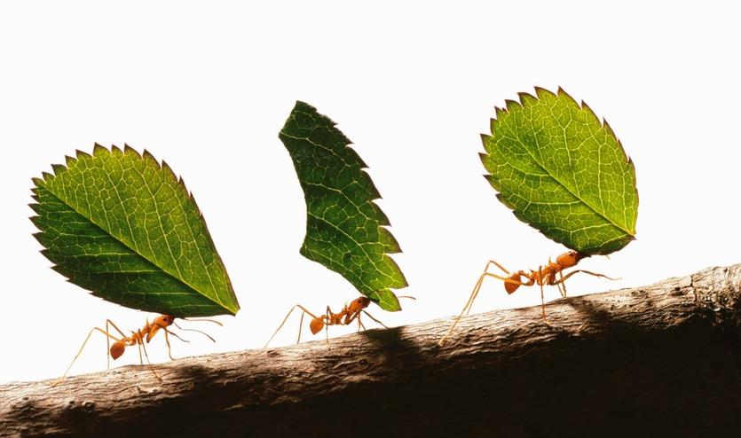 Энтомологи поведали, как муравьи освоили сельское хозяйство