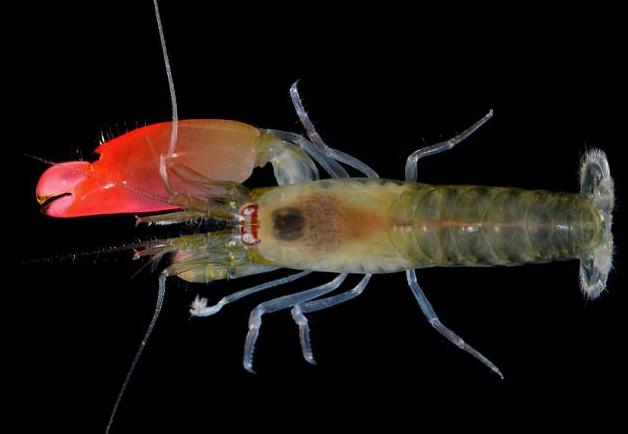 Ученые назвали новый вид креветок вчесть Pink Floyd