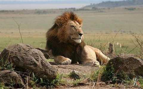 ВКении львы стали людоедами из-за сложностей  сзубами