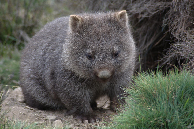 ВАвстралии скончался  самый старый вомбат