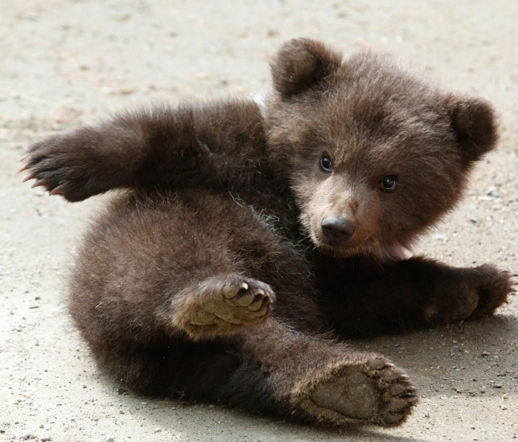 Истощенного гималайского медвежонка спасли вПриморском крае