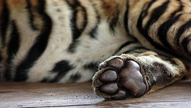 Труп утонувшего тигренка обнаружили вреке Хабаровского края