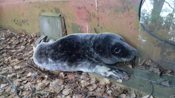 В Ленинградской области был найден истощенный тюлененок