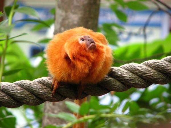 В Сибири отчитались перед Бразилией за редких новорожденных обезьян