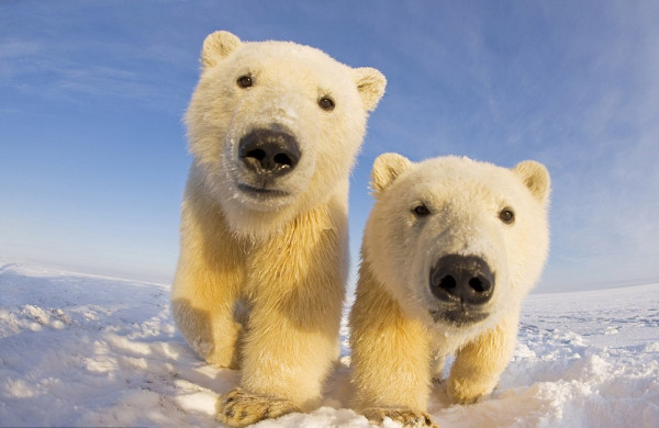 Миграцию белых медведей в Арктике отследят при помощи GPS-ошейников