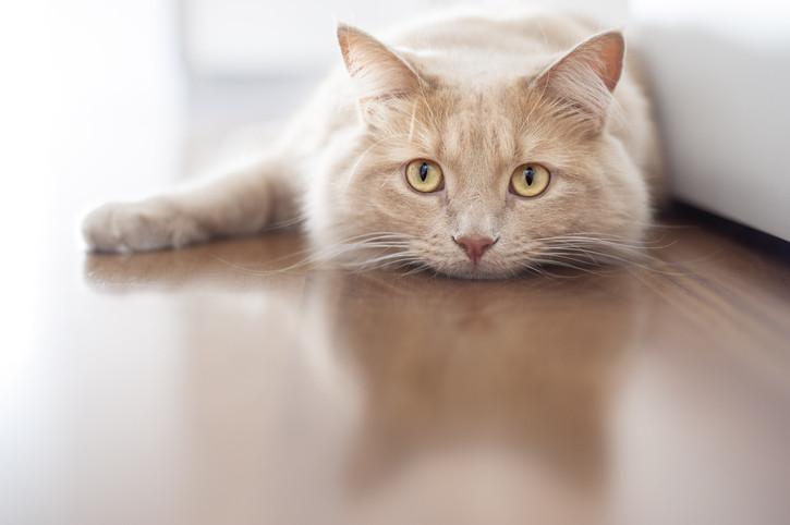Коты всостоянии  ускорить регенерацию мышц икостей улюдей— Ученые