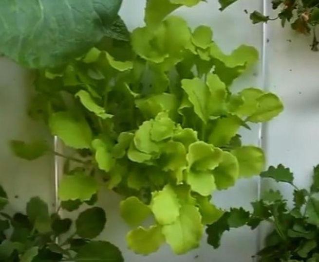 Астронавты наМКС вырастили урожай китайской капусты
