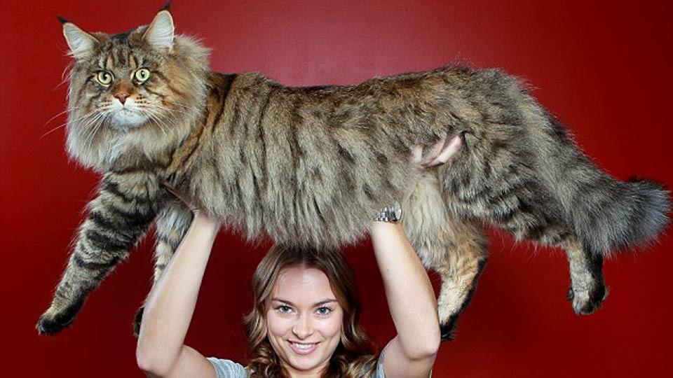 Самый крупный вмире кот покоряет соцсети