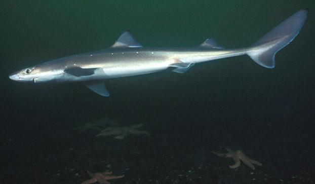Рыболовы наострове российский воВладивостоке словили реальную акулу