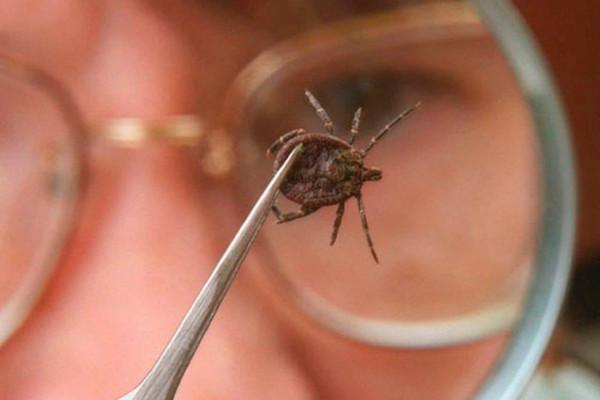 В Псковской области 212 человек пострадали от укусов клещей