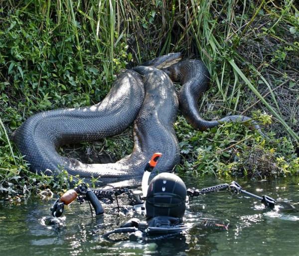 В Бразилии обнаружили самую большую анаконду в мире
